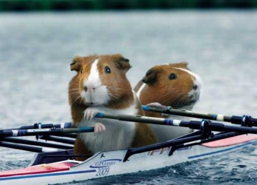 Морские свинки - спортсмены