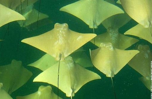 Мигрируищие Скаты (плавают групками)