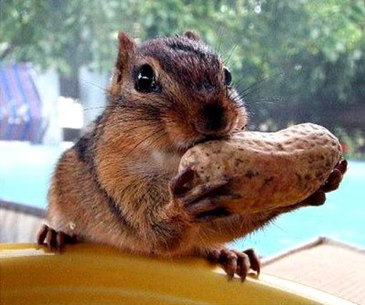 Настоящий почитатель орешков