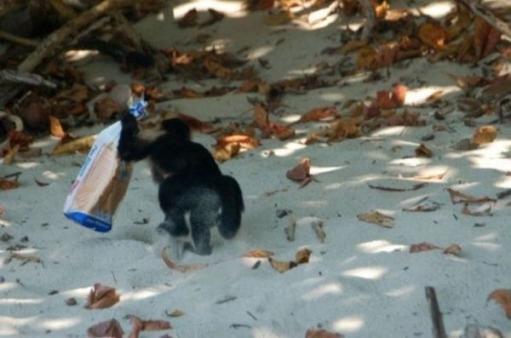 Мартышка -воришка, смешные поступки диких животных