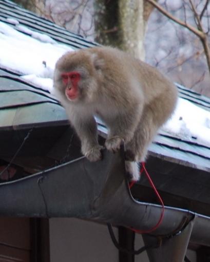 Зажравшиеся обезьяны