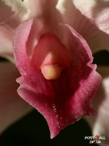 klitori-krupnoe-foto