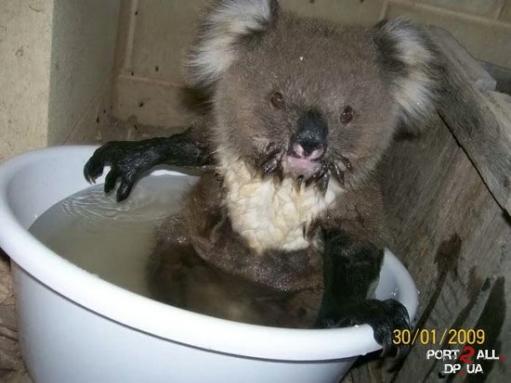 Моем коалу или Фото купающейся Коалы