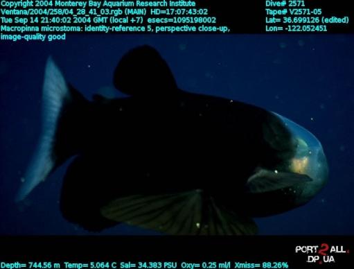 Macropinna microstoma - рыба с прозрачной головой