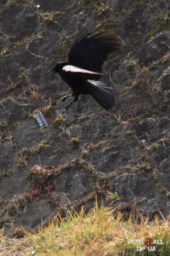"Птица - алкоголик или реклама ""Black Boss"" :D"