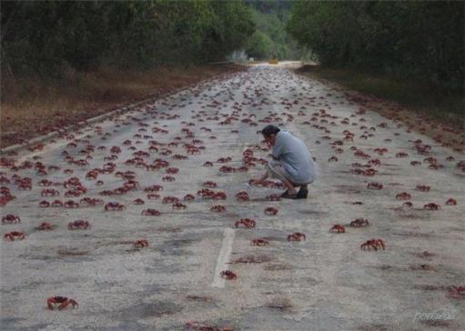 Грандиозное нашествие крабов (Фото)