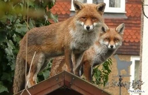 Хитрые гости - незваные лисицы