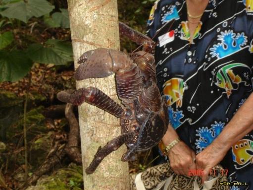 Кокосовый краб - Пальмовый вор.