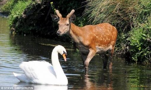Отважный лебедь - хозяин водоема