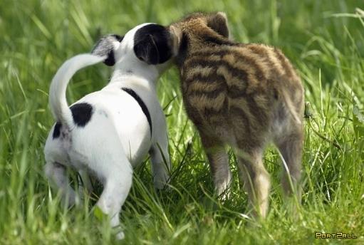 Дружба между кабанов и собакой