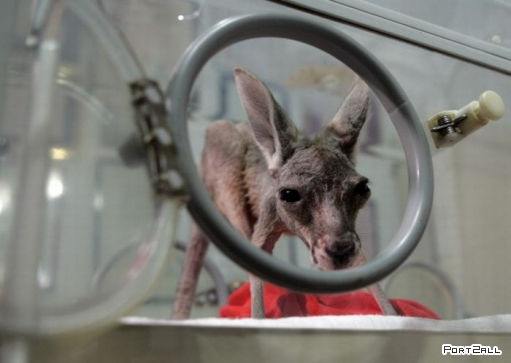 Кенгурёнок выпавший из сумки. Фото кенгуру.