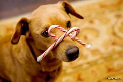 Очень обаятельная собака - Чак - питомец известного блоггера Dooce.
