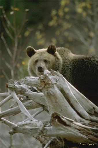 Медведи. Фото медведей.