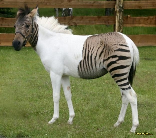 10 самых невероятных гибридов животных: Левопард, Лигр, Тигролев, Собаковолк,  Зеброиды, Верблюлама, Косаткодельфин и другие