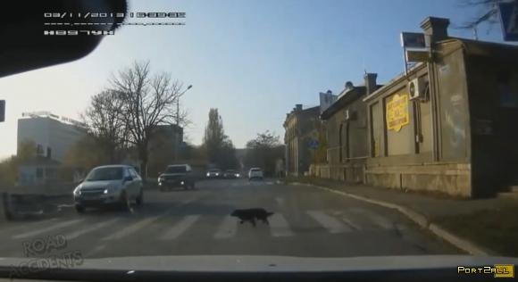 Подборка видео с собаками, переходящими дорогу по пешеходному переходу.